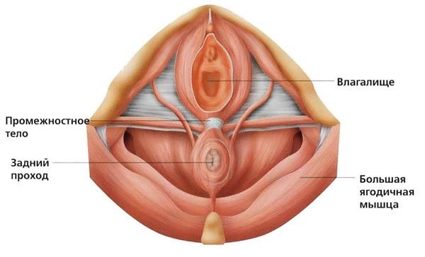 Мышцы Вагины